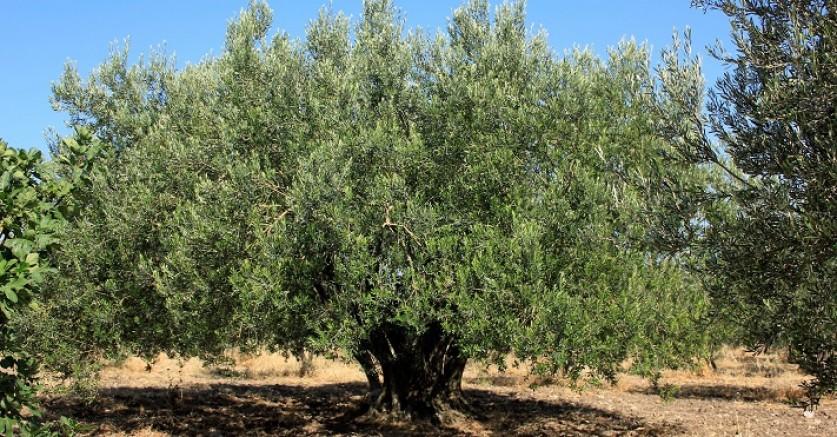 Antik ağaçtan rekor zeytin